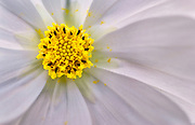 Yellow Cosmos with white background
