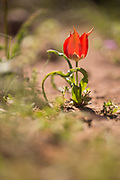 Tulipa agenensis red mountain Tulip flowers. Photographed in Israel in March
