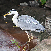 Heron Annual weigh in at ZSL London Zoo on 23 August 2018, London, UK.