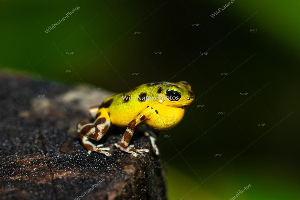 "A male yellow-green and brown Strawberry Poison Dart Frog (Oophaga pumilio, ""Isla Colón""), singing froma perch, Bocas del Toro, Colon Island, Panama"