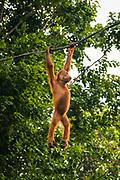 Orangutan at the Singapore Zoo, Singapore, Republic of Singapore
