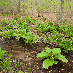 Skunk cabbage on the edge of a vernal pool near the Eight Mile River at the Nature Conservancy's Pleasant Valley Preserve in Lyme, Connecticut.