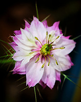 Love in a Mist flower. Image taken with a Fuji X-H1 camera and 80 mm f/2.8 OIS macro lens.