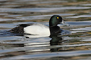 Greater Scaup - Aythya marila - male