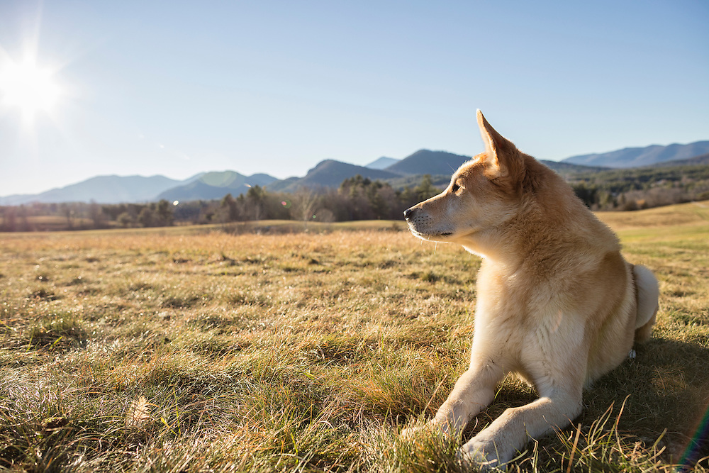 Golden mutt laying in a late fall meadow