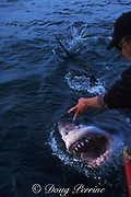 great white shark, Carcharodon carcharias, gaping at surface, in response to a tickle by Michael Rutzen, off Gansbaai, South Africa ( Indian Ocean )