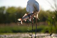 Great White Egret, Egretta alba or Ardea alba, at Pusztaszer protected landscape, Kiskunsagi, Hungary