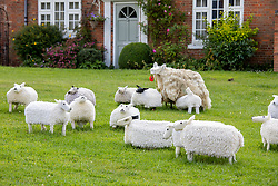 © Licensed to London News Pictures. 04/08/2021. Kilsby, Northamptonshire, UK. Pictured, knitted sheep on the village green. The ladies of the Kilsby WI have Yarn-Bombed their small village to celebrate its centenary. The main feature, a knitted a court room scene which sits outside the village hall to mark the Centenary of the village. The work celebrates women on Jury service and is complete with jury, defendant and Judge. The group have also installed other displays around the village including displays on Keep Britain Tidy, Midwives, plastic Pollution and honeybees. Photo credit: Dave Warren / LNP