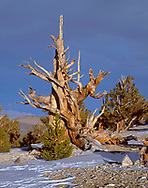 CAEWM_11 - USA, California, Inyo National Forest, Ancient Bristlecone Pine Forest Area, Evening light defines an old bristlecone pine at the Patriarch Grove in the White Mountains.