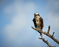 Osprey perched on a dead tree.  Biolab Road, Merritt Island National Wildlife Refuge. Image taken with a Nikon D3x camera and 500 mm f/4 VR lens (ISO 400, 500 mm, f/8, 1/1000 sec).