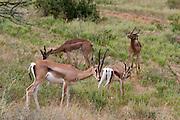 Kenya, Samburu National Reserve, Kenya, Thomsons Gazelle (Gazella thomsonii)