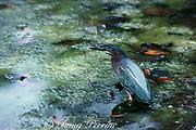 green-backed heron or mangrove heron, Butorides striatus, Greynold's Park, North Miami Beach, Florida, USA, North America