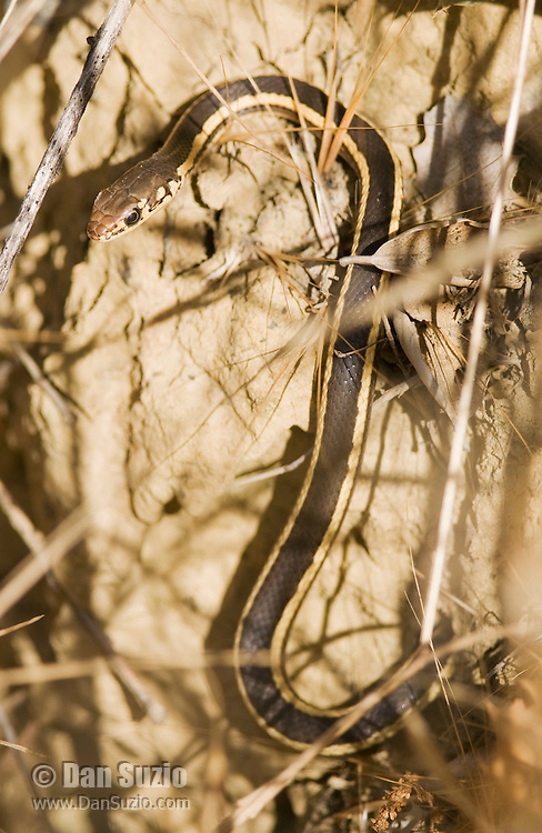 Alameda whipsnake, Masticophis lateralis euryxanthus, a Federal- and State-listed Threatened Species. Mount Diablo State Park, California