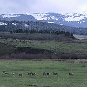 Mule Deer (Odocoileus hemionus) Mule deer herd grazing in lush meadow. Montana.