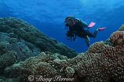diver swims over field of leather coral, Sinularia abrupta, near The Keyhole, Lehua Rock ( near Niihau Island, off Kauai ), Hawaii USA ( Central Pacific Ocean ) MR 306