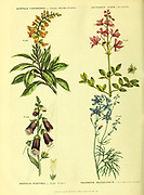 Digitalis canariensis [Canary shrubby foxglove], Dictamnus albus [fraxinella], Digitalis purpurea [Purple Foxglove], Delphinium grandiflorum [Great-flowered larkspur from Vol 1 of the book The universal herbal : or botanical, medical and agricultural dictionary : containing an account of all known plants in the world, arranged according to the Linnean system. Specifying the uses to which they are or may be applied By Thomas Green,  Published in 1816 by Nuttall, Fisher & Co. in Liverpool and Printed at the Caxton Press by H. Fisher