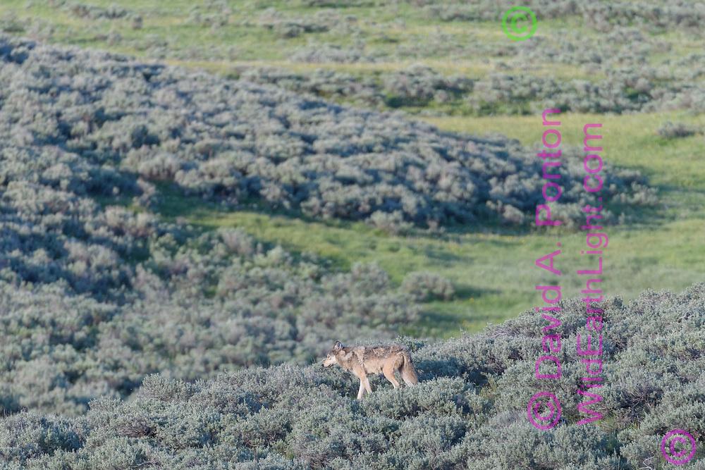 Solitary wolf traveling through sage-grassland in Yellowstone National Park, © David A. Ponton