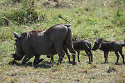 A family of Warthog (Phacochoerus africanus) rolls in the mud Photographed at Ngorongoro Conservation Area (NCA) Tanzania