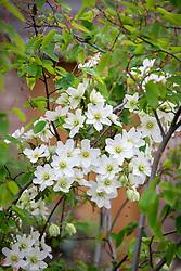Clematis × cartmanii 'Avalanche' growing through amelanchier