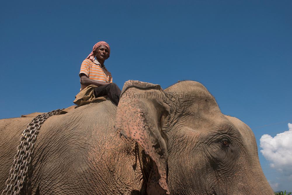 Asian elephant (Elephas maximus) domestic & Mahout used for logging<br /> Nagaland,  ne India