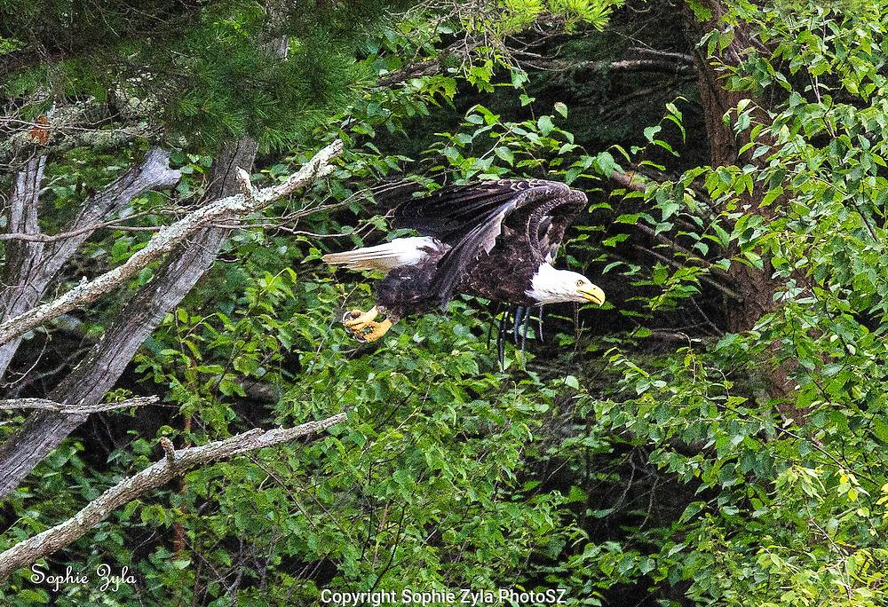 Bald Eagle taking flight at Colebrook River Lake