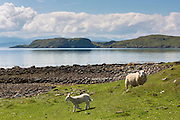 Sheep, ewe and lamb, at Achiltibuie on the West Coast of Scotland