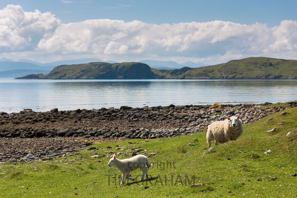 Sheep, ewe and lamb, at Achiltibuie on the West Coast of Scotland