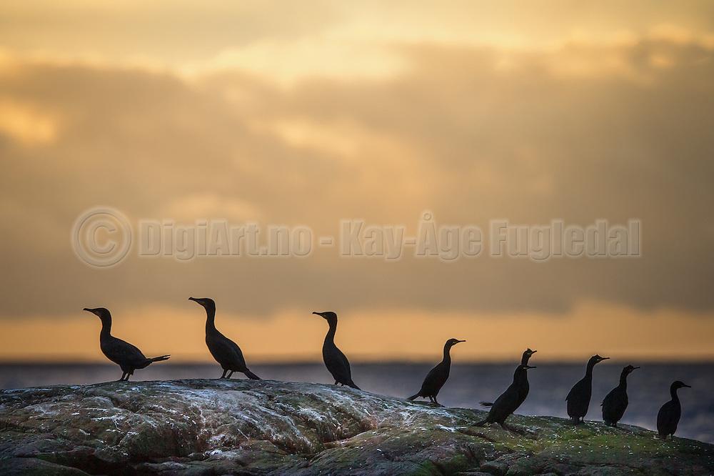 Cormorates on a reef in golden sunset  | Skarver på et skjær i gyllen solnedgang