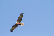 Marsh Harrier (Circus aeruginosus) in flight with a blue sky background. Photographed in Carmel mountain, israel in January