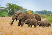 African savannah elephants (Loxodonta africana) from Queen Elisabeth NP, Uganda.