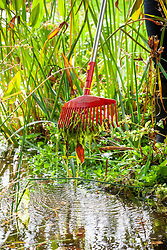 Removing pond weed from a stream in autumn using a rake