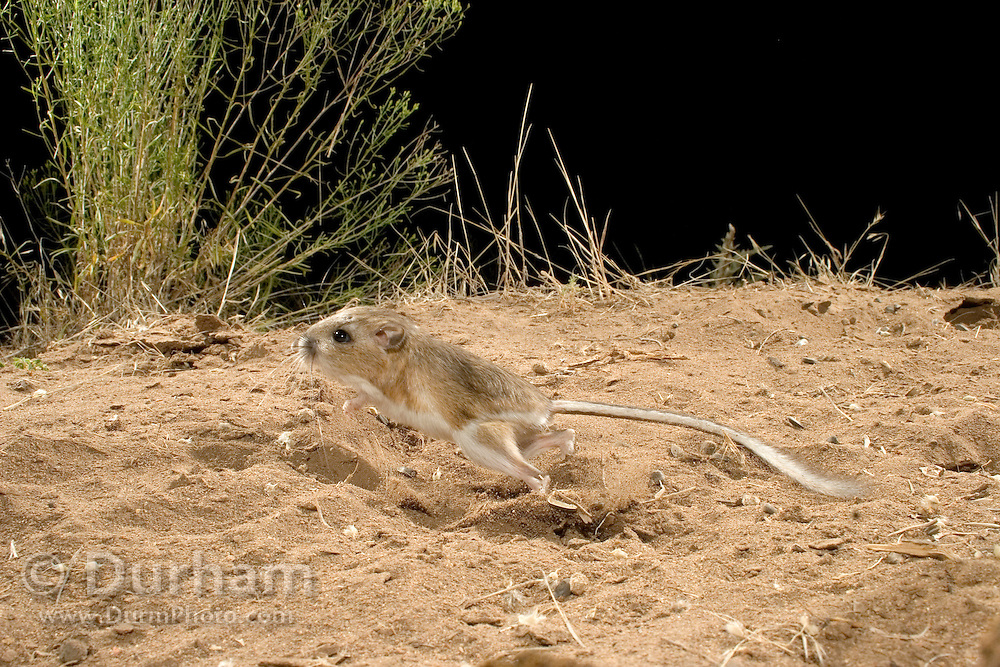 An ord's kangaroo rat (Dipodomys ordii) exhibiting bipedal locomotion. John Day Fossil Beds National Monument, Painted Hills Unit. Oregon.