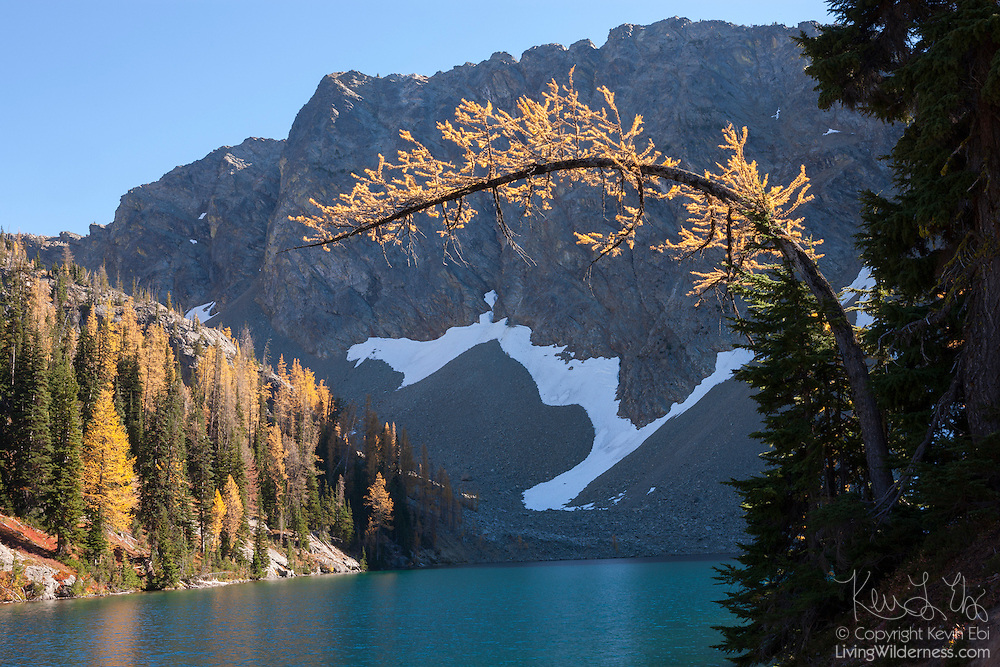 A Golden Larch tree (Pseudolarix amabilis) bends over Blue Lake near Washington Pass in the North Cascades of Washington state. Golden Larches, while not considered true larches, are known for shedding their needles each fall. The needles grow back each spring and transition from deep green to blue green over the course of the summer. In late September or early October, the needles turn golden and drop, just like the leaves on deciduous trees.