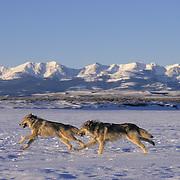 Gray Wolf (Canis lupus) pair running in Montana. Captive Animal