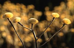 Seedheads  of Buphthalmum speciosum syn. Telekia speciosa