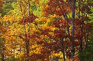 Autumn Garry Oaks in Klickitat County WA, Southern WA Cascade Mountain Range,