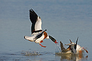 Shelduck - Tadorna tadorna - males fighting