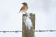 Chaffinch perches on post against snowy slope, Oxfordshire