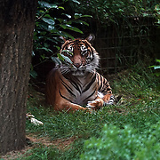 London,England,UK: 30th July 2016: A Tiger at ZLS London Zoo an opening day for Little Creatures Family Festival ,England, UK. Photo by See Li
