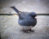 Grey-headed Junco. Image taken with a Nikon D5 camera and 600 mm f/4 VR telephoto lens (ISO 1600, 600 mm, f/4, 1/60 sec).