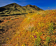 Wildflowers at Jubilee Pass in Death Valley National Park in California