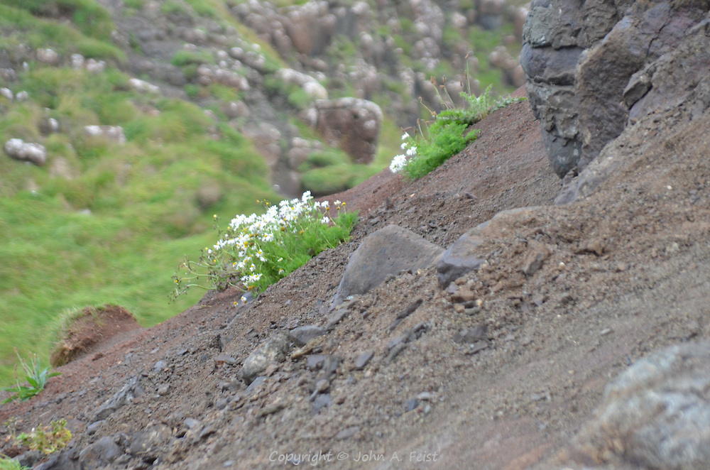 Small patches of wild flowers seeming to grow out of the rocks at the Giant's Causeway, County Antrim, Northern Ireland.