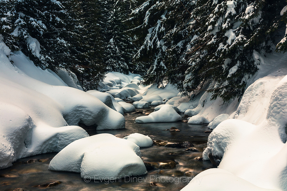 Cold river in a pine forest covered with a snow