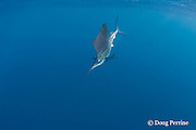 Atlantic sailfish, Istiophorus albicans ( considered by some to be a single species worldwide, Istiophorus platypterus ), off Yucatan Peninsula near Contoy Island and Isla Mujeres, Mexico ( Caribbean Sea )