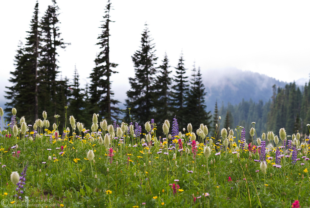 Western Anemone (Anemone occidentalis) and other wildflowers at Upper Tipsoo Lake in Mount Rainier National Park in Washington State, USA.
