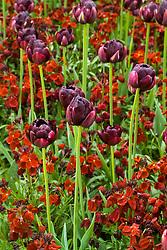 Tulipa 'Black Hero' with wallflower Erysimum 'Blood Red'