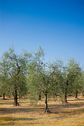 Olive grove of traditional olive trees in Val D'Orcia, Tuscany, Italy RESERVED USE - NOT FOR DOWNLOAD - FOR USE CONTACT TIM GRAHAM
