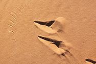 Bird footprints in desert sand, Sahara desert, Morocco.
