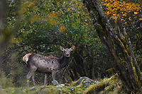 Red Deer, Cervus elaphus, walking in the humid montane mixed forest, Laba He National Nature Reserve, Sichuan, China