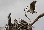 Female osprey in flight returning to nest, chicks 6-7 weeks old<br /> *ADD TO CART FOR LICENSING OPTIONS*